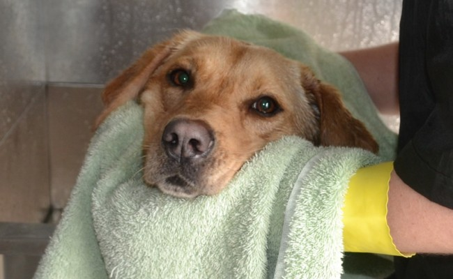 Marley is a Labrador. Pampered by Kylies Cat Grooming services Also All Size Dogs.