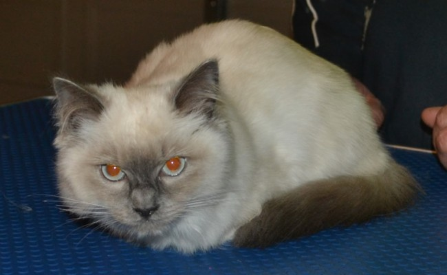 After – Minx the 5 mth old Ragdoll came in tonight for his fur raked, nails clipped, some Glitter Blue kitten Softpaw Nail Caps and a wash n blow-dry. Pampered by Kylies Cat Grooming Services Also All Size Dogs.