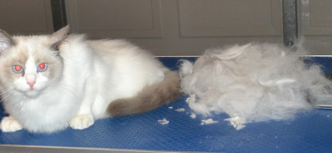 After – Voltaire is a 4 month old Ragdoll who had his fur raked, nails clipped, ears and eyes cleaned and the hair around his bottom and feet pads clipped. Pampered by Kylies Cat Grooming Services Also All Size Dogs.