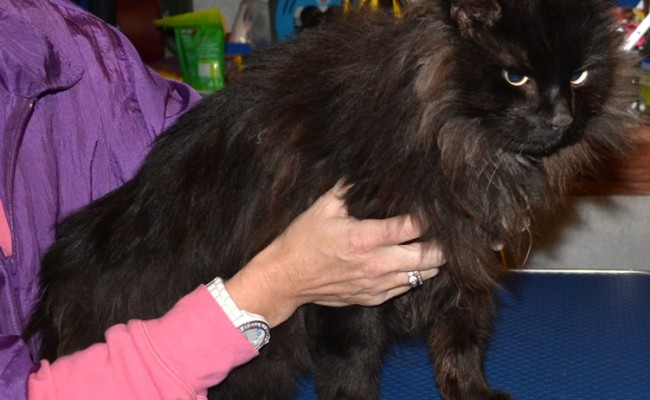 Peyton is a Long hair Domestic who had his matted fur shave and nails clipped. Pampered by Kylies Cat Grooming Services Also All Size Dogs.
