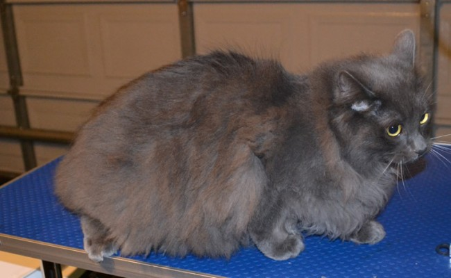Cha Cha is a Russian Blue x Perisan. Pampered by Kylies Cat Grooming Services Also All Size Dogs.
