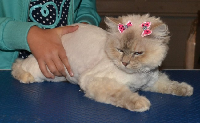 Alaska is a Ragdoll. She came in for her matted groom, nails clipped and wash n blowdry. Pampered by Kylies Cat Grooming Services Also All Size Dogs