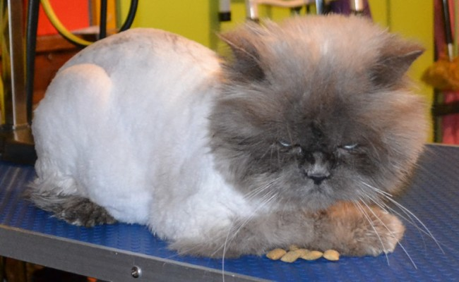 After – Toby is a Persian. He had his full groom and is feeling and looking much much better.  At the end of it all he was purring. I think deep down he really appreciated it. The client was also over the moon. Pampered by Kylies Cat Grooming Services Also All Size Dogs.