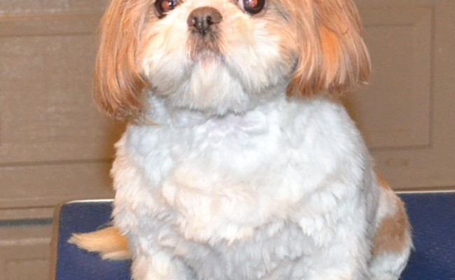 itty is a Shih Tzu x breed. Wearing Hot Pink Softpaw Nail Caps. Pampered by Kylies Cat Grooming Services Also All Size Dogs.