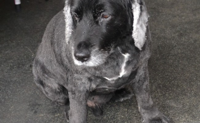 Jed is a Cocker Spaniel x Kelpie. Pampered by Kylies Cat Grooming services Also All Size Dogs.