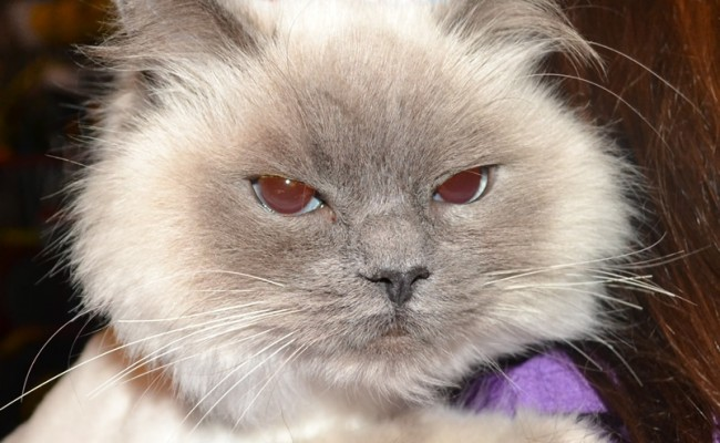 Coco is a Ragdoll breed. She had her fur shaved, nails clipped, flea wash n blow-dry, 1 month flea applicator and ears cleaned.  Pampered by Kylies Cat Grooming Services Also All Size Dogs
