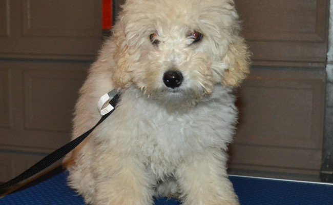 Ralph is a 5 mth old Poodle. He had a Winter clip, Wash n blowdry and nails clipped. Pampered by Kylies Cat Grooming services Also All Size Dogs.