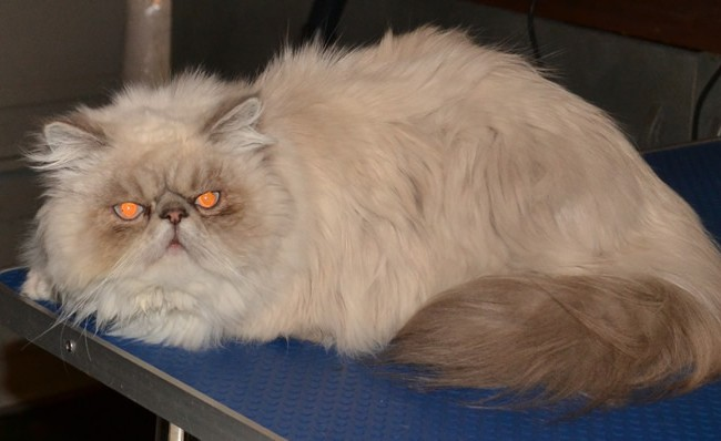amuk is a Himalayan Persian that has had a matted groom and nails clipped. Pampered by Kylies Cat Grooming Services Also All Size Dogs.