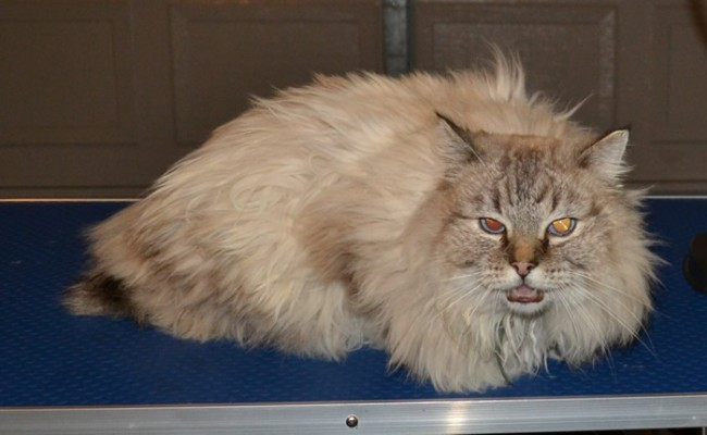 Montana is a Ragdoll who came in for a matted groom and nails clipped. Pampered by Kylies Cat Grooming Services Also All Size Dogs