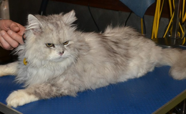 Bugman is a Chinchilla. He came in for his matted groom. Pampered by Kylies cat grooming services All Size Dogs