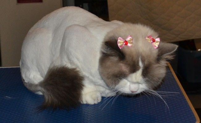 Lovely is a Ragdoll breed. She had her matted fur shave, nails clipped, full set of Glitter pink Softpaw nail Caps, flea wash n blow-dry, 1 month flea applicator and ears cleaned.  Pampered by Kylies Cat Grooming Services Also All Size Dogs