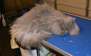 Penny Puff is a Persian. Pampered by Kylies Cat Grooming services Also All Size Dogs