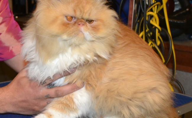 easley is a (Harry Potter fan) I mean Persian. He came in today for his full groom and did very very well. Pampered by Kylies cat Grooming Services Also All Size Dogs.