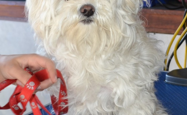 Narla is a Shih Tzu x Maltese. Pampered by Kylies Cat Grooming services Also All Size Dogs.