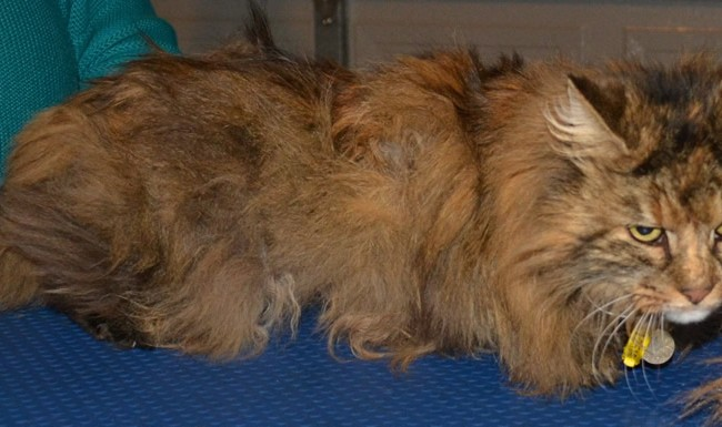 Skye is a 16 yr old Long hair moggy who has a Overactive Thyroid, she had her very bad matted fur clipped off, nails clipped, ears and eyes cleaned and a wash n blow-dry.  Pampered by Kylies Cat Grooming Services Also All Size Dogs.