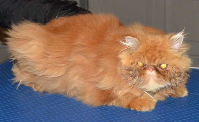 Pasha is a 8mth old Persian who had his matted fur shaved off, nails clipped, eyes and ears cleaned and a wash n blow dry.  Pampered by Kylies Cat Grooming services Also All Size Dogs.