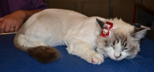 17th November 2013 - Khalessi the Ragdoll came in this time for a Full Groom. This time she had her fur shaved. She had hr nails clipped, ears cleaned, wash n blow dry and Red Softpaw nail Caps. Pampered by Kylies Cat Grooming Services Also All Size Dogs.