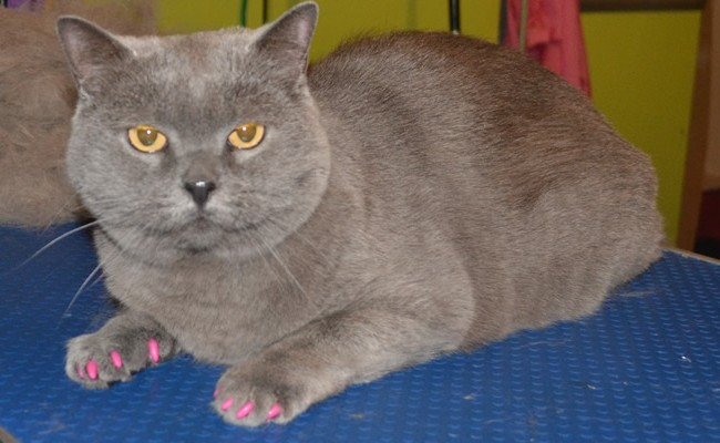 Skye is a British Blue Short hair breed, she had her fur raked, nails clipped, ears cleaned and is wearing a full set of Pink Softpaw nails Caps.  Pampered by Kylies Cat Grooming Services Also All Size Dogs.