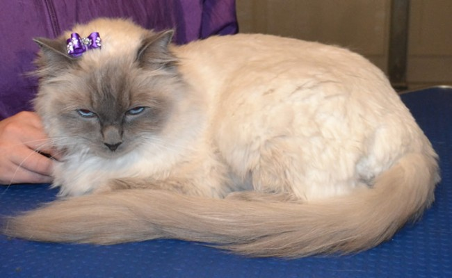 Pixi is a Ragdoll. She had her matted fur shaved from underneth her, a comb clip all over, nails clipped, ears cleaned, her fur raked, and a wash n blow-dry.  Pampered by Kylies Cat Grooming Services Also All Size Dogs.