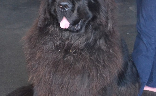 Before – Chewy the 70kg Newfoundland had his fur raked, nails clipped, ears cleaned and a wash n blow dry.  Pampered by Kylies Cat Grooming Services Also All Size Dogs.