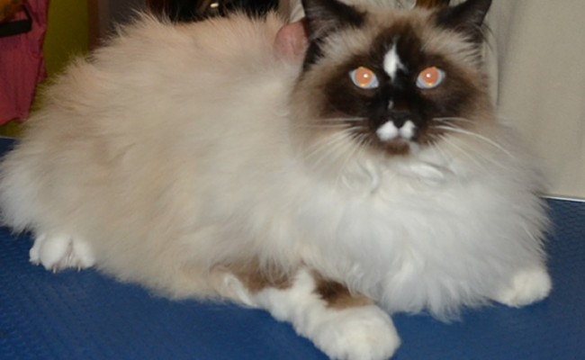 Chloe is a Ragdoll who had her fur shaved, nails clipped and a wash n blow-dry.  Pampered by Kylies Cat Grooming Services Also All Size Dogs.