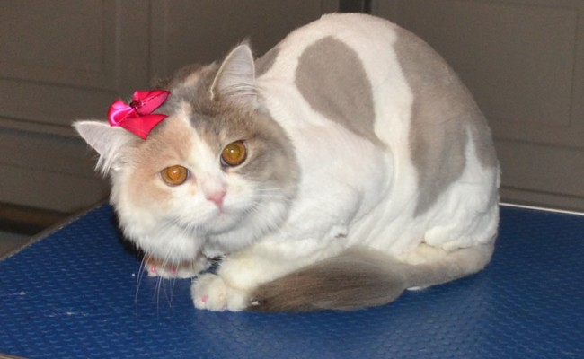 Bella is a 8 month old Persian X.  She had her fur shaved, nails clipped, eyes and ears cleaned, wash n blow dry and Baby Pink Softpaw nail caps.  Pampered by Kylies Cat Grooming Services Also All Size Dogs.
