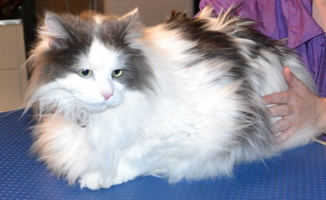 Chester is a Long hair Moggy. He had his matted fur shaved off, nails clipped and a wash n blow-dry.  Pampered by Kylies Cat Grooming Services Also All Size Dogs.