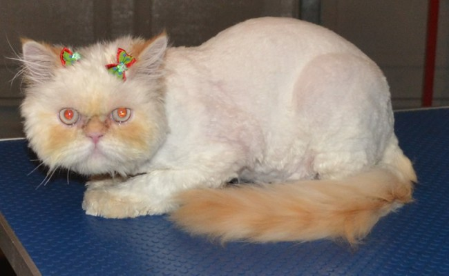Haddie is a 8 month old kitten, who had a little matting that we shaved off, nails clipped, wash n blowdry, eyes cleaned and is wearing Glitter Pink Softpaw Nail Caps.  Pampered by Kylies Cat Grooming Services Also All Size Dogs.