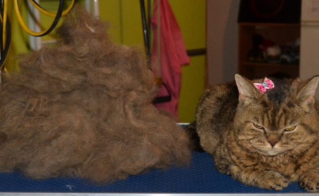 Tullulah is a Selkirk Rex. She had her big fur rake, nails clipped and wash n blow-dry. Look at all that hair i got out. Pampered by Kylies cat grooming services Also All Size Dogs.