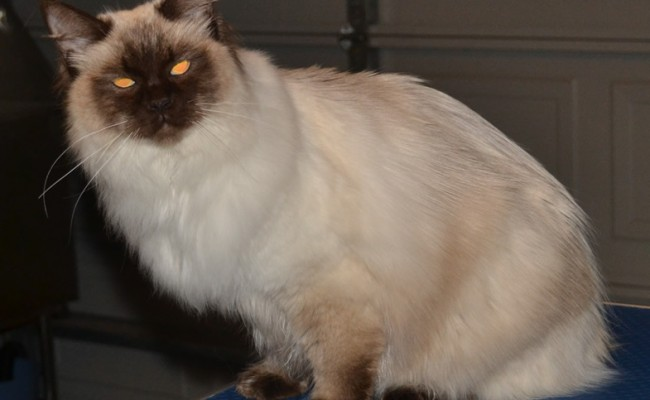 After – Monty is a 10 month old Ragdoll. He had his fur raked, nails clipped, ears and eyes cleaned and a wash n blow-dry.  Pampered by Kylies Cat Grooming Services Also All Size Dogs.