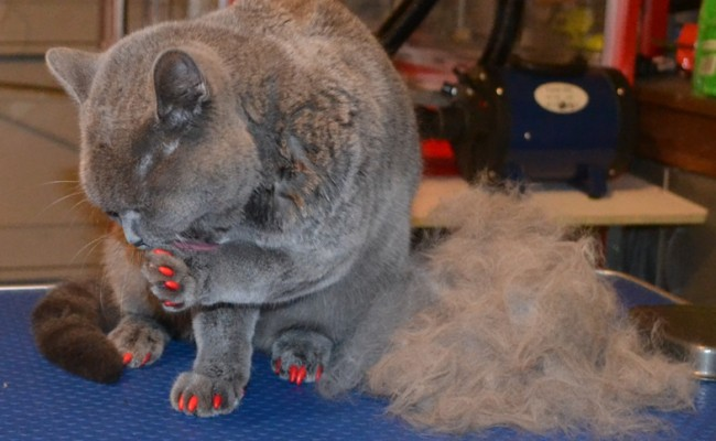 After – Chancho is a 8 month old British Short hair.  He had his fur raked, nails clipped, wash n blow dry and full set of red Softpaw nail Caps.  Pampered by Kylies cat grooming Services Also All Size Dogs