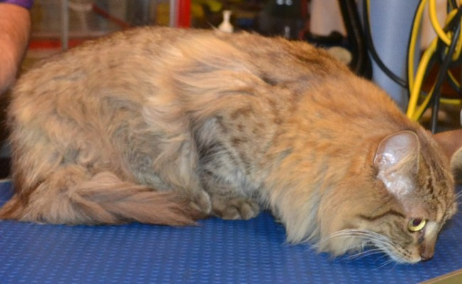 Chanel is a 10 month old Medium Hair Tabby. She had her matted fur clipped off from underneath, neck and legs, a comb clip on the sides and around the face, nails clipped and a wash n blow-dry.  Pampered by Kylies Cat Grooming services Also All Size Dogs.