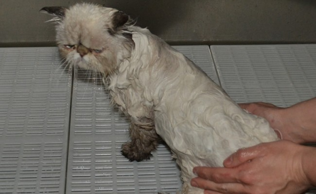 Charlotte is a Himalayan x Persian, who had her tummy shaved and Mats taken off underneath, nails clipped, her fur raked, eyes cleaned and a wash n blow dry.  Pampered by Kylies Cat Grooming Services Also All Size Dogs.