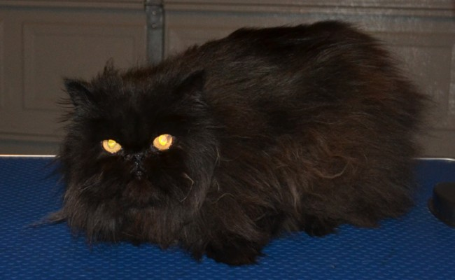 Solomon is a Persian. He had his matted fur shaved off, nails clipped and a wash n blow-dry.  Pampered by Kylies Cat Grooming Services Also All Size Dogs.