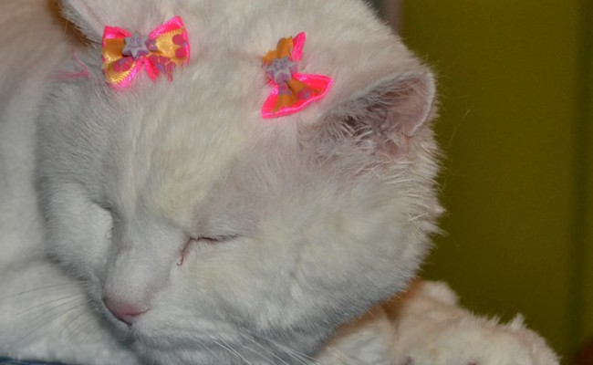 Nilla is a 13 yr old long hair Domestic who had her fur shaved down, nails clipped, eyes and ears cleaned, wash n blow dry and a full set of Pink Glitter Softpaw nail Caps.  Pampered by Kylies cat Grooming services Also All Size Dogs.