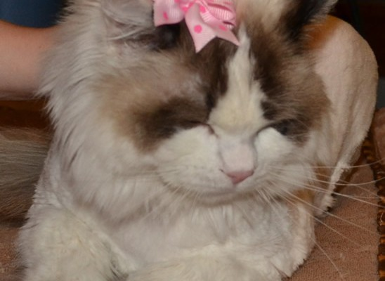 Abi is a Ragdoll who had her matted fur shaved off, nails clipped, ears and eyes cleaned, wash n blow dry and a full set of Baby Pink SoftPaw nail caps. Pampered by Kylies Cat Grooming services Also All Size Dogs.