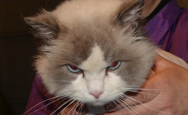 Apollo is a Ragdoll. He had his matted fur shaved off and nails clipped.  Pampered by Kylies Cat grooming services Also All Size Dogs.