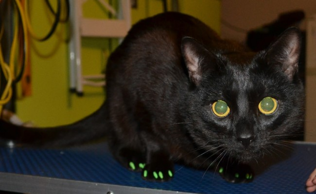 Teddy is a Short hair Domestic who was rescued from an Animal Shelter.  he came in for his nails clipped and a full set of Green Softpaw Nail Caps.  Pampered by Kylies Cat grooming Services Also All Size Dogs.