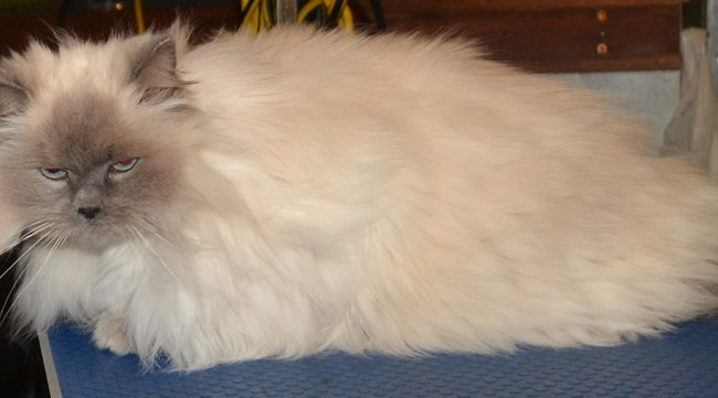 Mitsy is a Himalayan x Ragdoll who had her matting shaved off and her nails clipped. Pampered by Kylies cat Grooming Services Also All Size Dogs.