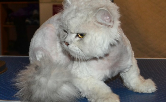 Sasuke is a Chinchilla, who had his very bad matted fur clipped off, nails clipped, ears and eyes cleaned and a wash n blow-dry.  Pampered by Kylies Cat Grooming Services Also All Size Dogs.