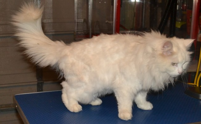 Tomuk is a Turkish Angora, she had her matted shave down, nails clipped, ears cleaned and wash n blow-dry. Pampered by Kylies cat Grooming Services Also All Size Dogs.