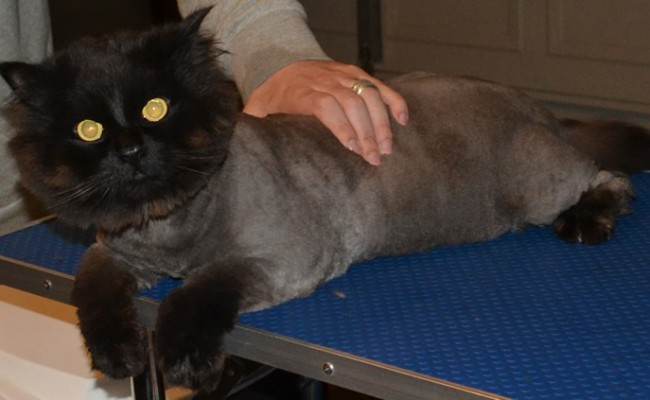 Iggy is a Doll face Persian x Ragdoll. he had his matted fur shaved down, nails clipped, ears cleaned and a wash n blow-dry.  Pampered by Kylies Cat Grooming Services Also All Size Dogs.