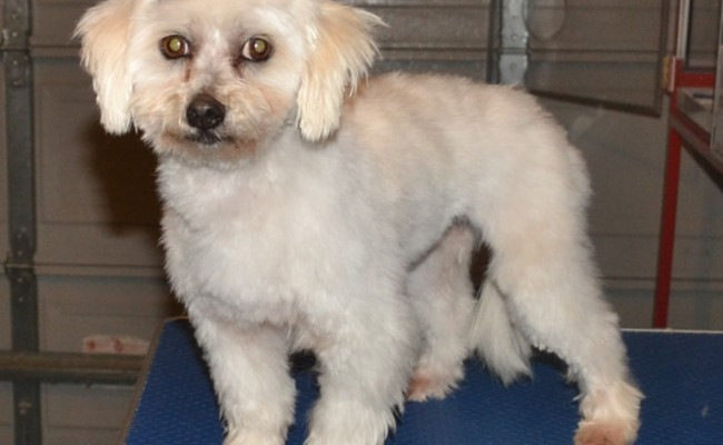 Molly is a Maltese Terrier, she had her wash n blow-dry, winter clip, ears cleaned and nails trimmed.  Pampered by Kylies Cat Grooming Services Also All Size Dogs.