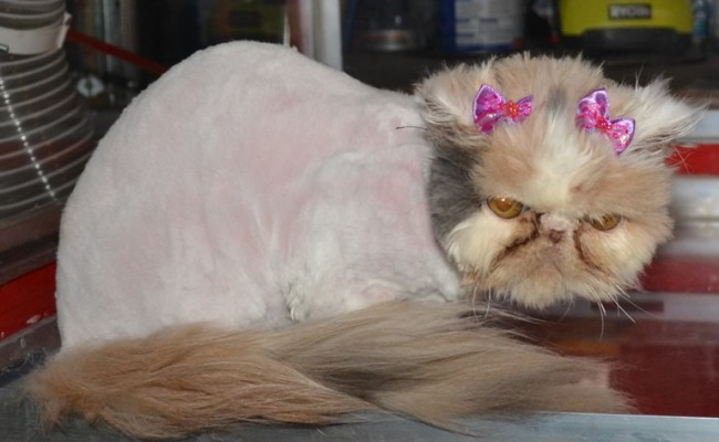 Annabell is a 4 month old Persian Kitten, who;s whole body was covered in very bad matting. She had her fur shaved down, nails clipped,Wash n Blow-dry, ears and eyes cleaned. Pampered by Kylies Cat Grooming Services Also All Size Dogs.