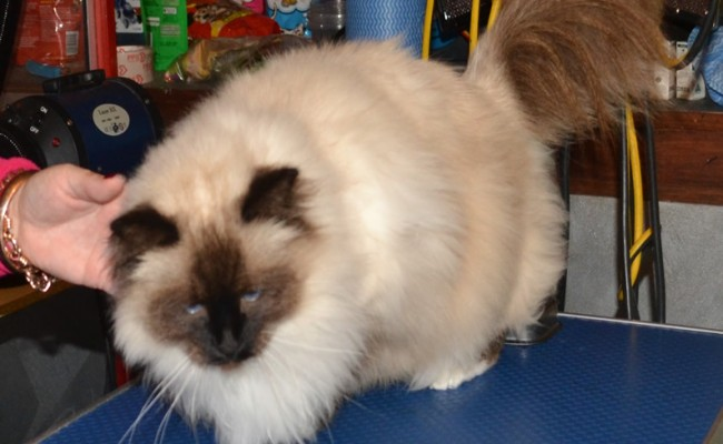 Buckley is a Birman, who had his fur shaved, nails clipped, ears cleaned and a wash n blow-dry. Pampered by Kylies cat Grooming Services Also All Size Dogs.