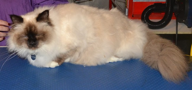 Murphy is a Birman, who had his fur shaved, nails clipped, ears cleaned and a wash n blow-dry. Pampered by Kylies cat Grooming Services Also All Size Dogs.