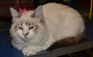 Khalessi is a 5 month old Ragdoll, she had her fur raked, nails clipped, eyes and ears cleared, wash n blow dry and Glitter Purple Softpaw nail Caps.