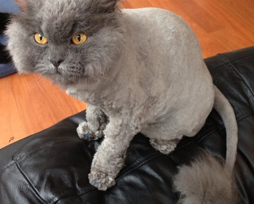 Yoda is a Selkirk Rex. He had his very thick fur shaved down, nails clipped, a wash n blow-dry and Blue Softpaw nail caps.  Pampered by Kylies cat Grooming services Also All Size Dogs.