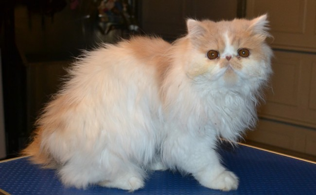 Zara the 10 month old Persian kitten came in this morning for his matting shaved off, nails clipped, ears and eyes cleaned. Pampered by Kylies Cat Grooming Services Also All Size Dogs.