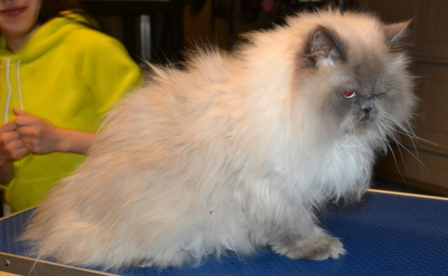 Momo is a Himalayan.  He had his matted fur shaved, nails clipped and ears cleaned. Pampered by Kylies Cat Grooming services Also All Size Dogs.